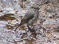 NZ Robin 2008.JPG