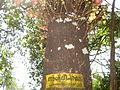 Naagalinka Maram, Cannon Ball Tree, നാഗലിംഗ മരം.JPG