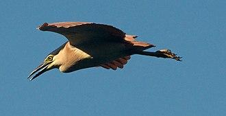Nankeen night heron - Image: Nankeen Night Heron in Flight