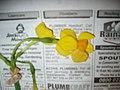 Narcissus aureus Loisel. (AM AK297343).jpg