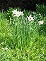 Narcissus poeticus 'Recurvus'01.jpg