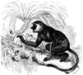 Nasenaffe semnopithecus-nasalis.png