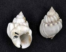 Two views of a shell of Nassarius arcularia (museum specimens at Naturalis Biodiversity Center)