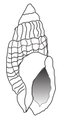 Nassarius reticulatus shell.png