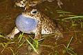 Natterjack Toad (Epidalea calamita) male calling (16184496963).jpg