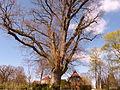 Naturdenkmal 1504-1 Eiche im Wohldweg, Bild 3.JPG