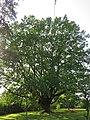 Naturdenkmal Gösen Eiche im Gösener Park.jpg