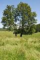 Naturdenkmal Hudebuchen nördliche Baumgruppe im Hochsauerlandkreis bei Oberschledorn (zu Medebach) an dem Alter Weg 1.JPG