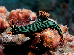Description de l'image Nembrotha kubaryana (Nudibranch).jpg.