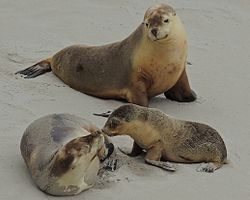 A family of Australian sea lions at Seal Bay Conservation Park on Kangaroo Island, South Australia
