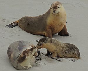 Australian sea lion - A family of Australian sea lions at Seal Bay Conservation Park, Kangaroo Island, South Australia