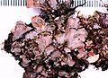 Nephroma resupinatum.jpg
