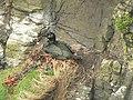 Nesting shag - geograph.org.uk - 212940.jpg