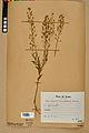 Neuchâtel Herbarium - Camelina microcarpa - NEU000022972.jpg