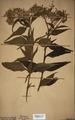 Neuchatel Herbarium Types NEU000113041.tif
