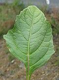 Nicandra physalodes leaf2 (15530962405).jpg