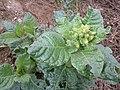 Nicotiana rustica sl14.jpg
