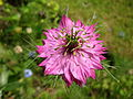 Nigella damascena pink.jpg