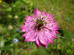 Nigella damascena pink