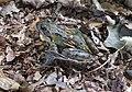 Noordwijk - Leeuwenhorstbos - Bruine kikker (Rana temporaria).jpg