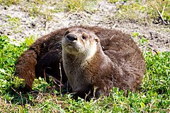 North American River Otter (Lontra canadensis) (6998578777).jpg
