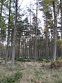 North Wood, Meikleour - geograph.org.uk - 269346.jpg