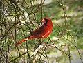 Northern Cardinal male Cardinalis cardinalis (24417476588).jpg