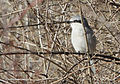 Northern Shrike, Pickerington Ponds, Ohio 1.jpg