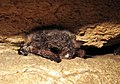 Northern long-eared bat with visible symptoms typical of WNS (8509676421).jpg