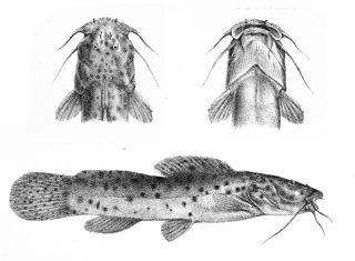 <i>Notoglanidium</i> genus of fishes