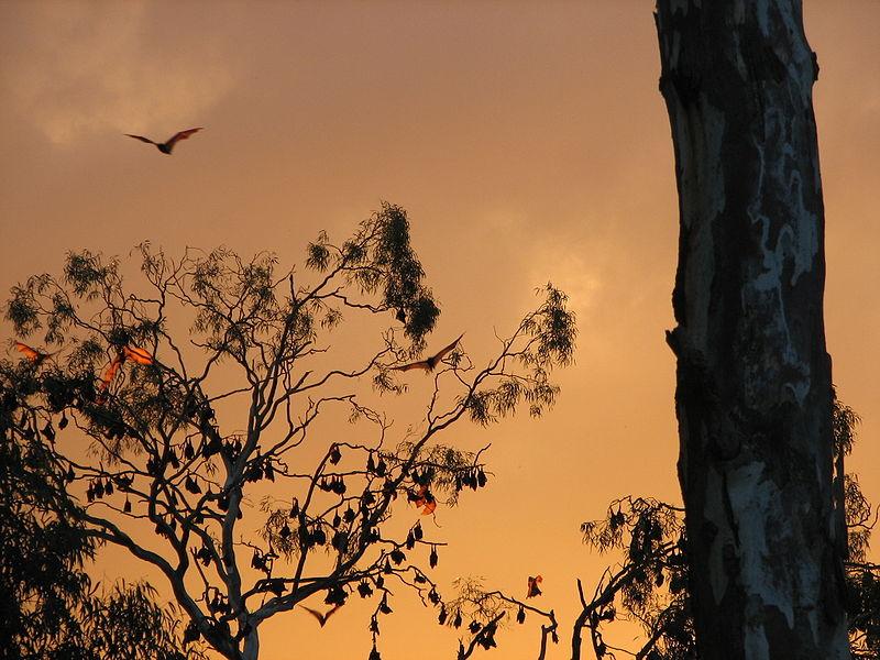 File:Numurkah flying foxes.007.jpg