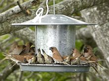 A group of Nutmeg Mannikins at a bird feeder