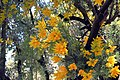 Nuytsia floribunda - Flickr - jeans Photos.jpg