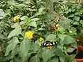 Nymphalidés (Nymphalidae) sur des fleurs (Lamiales) (1).jpg