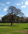 Oak tree, Barnett Demesne - geograph.org.uk - 1232875.jpg