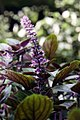 Ocimum African Blue 9zz.jpg