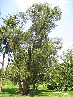 <i>Ocotea porosa</i> Species of tree