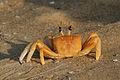 Ocypode ceratopthalmus Ghost Crab.jpg