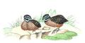 Odontophorus strophium - 1820-1863 - Print - Iconographia Zoologica - Special Collections University of Amsterdam - UBA01 IZ17100201.png