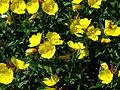 Oenothera fruticosa 04.JPG