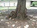 Old Tree DISD (3318743196).jpg
