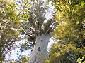 Oldest Kauri tree, Waipoua Forest, North Island, New Zealand - panoramio.jpg