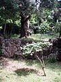 Olea europea ficus nerium oleander 6.jpg
