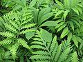 Onoclea sensibilis ^ Rodgersia aesculifolia - Flickr - peganum.jpg