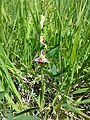 Ophrys apifera sl3.jpg
