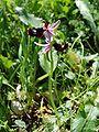 Ophrys bertolonii Ficuzza 0022.JPG