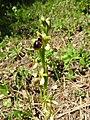 Ophrys sphegodes 25.jpg
