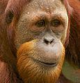 Orangutan II (13945320711).jpg