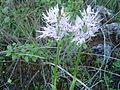Orchidee, Kritou Terra, Cyprus 2004.jpg