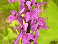 Orchis mascula ziedai.JPG